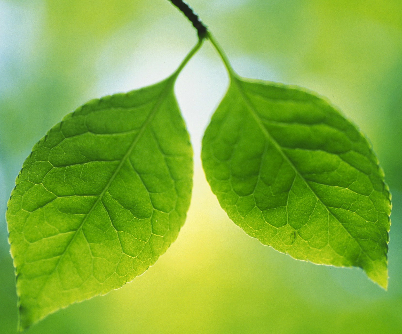 twin-green-leaves-wallpapers_13992_2560x1600